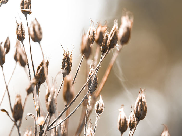 seed heads Agriculture Beauty In Nature Brown Cereal Plant Close-up Crop  Day Dead Plant Dry Field Flower Focus On Foreground Growth Nature No People Outdoors Plant Plant Stem Selective Focus Sunlight Tranquility Wilted Plant