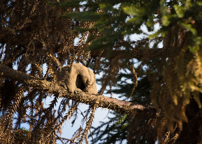 Animal Animal Themes Animal Wildlife Animals In The Wild Argentina Bear Branch Day Focus On Foreground Hornero Hornero Low Angle View Mammal Nature No People One Animal Outdoors Plant Relaxation Sky Tree Vertebrate