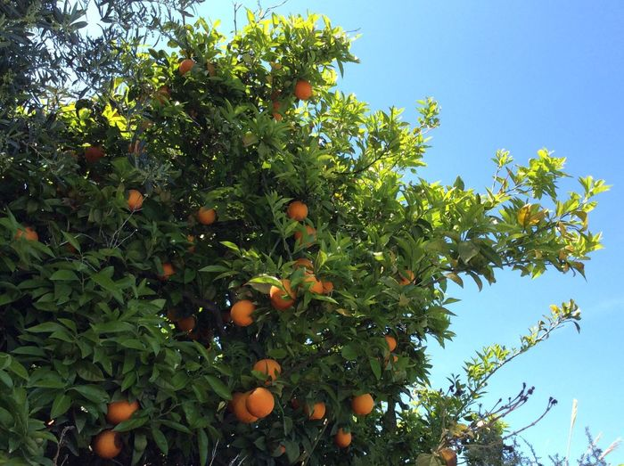 Close-up Springtime Oranges Trees Orange Trees Fruit Forest Forest Garden Showcase April