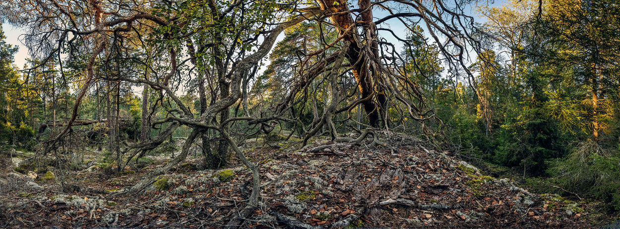 Beauty In Nature Dry Trunk Fallen Trees Forest Green Color Landscape Nationalpark Nature No People Non-urban Scene Outdoors Panoramic Photography Pine Trees Primeval Forest Remote Sunset Sweden Tree Tree Trunk Tyresta National Park Tyresta National Park Untouched Nature Wilderness WoodLand Woods