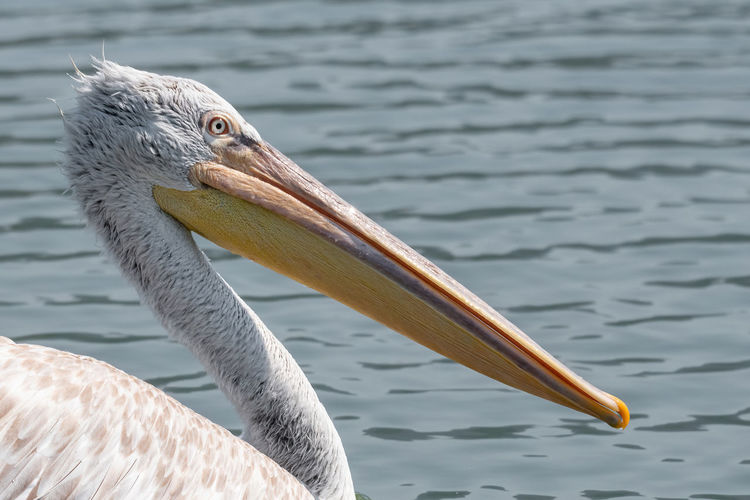 Close-up of pelican on lake
