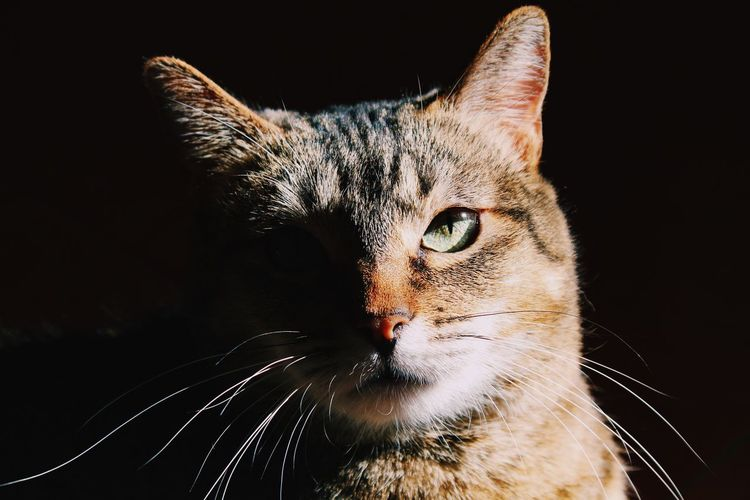 Close-up portrait of a cat over black background