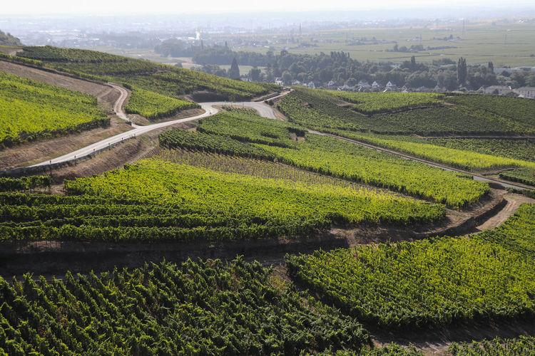 Street in the vineyards Alsace Agriculture Beauty In Nature Crop  Day Environment Farm Field Green Color Growth High Angle View Land Landscape Nature No People Outdoors Plant Plantation Rural Scene Scenics - Nature Street Tranquil Scene Tranquility Vineyard Winemaking