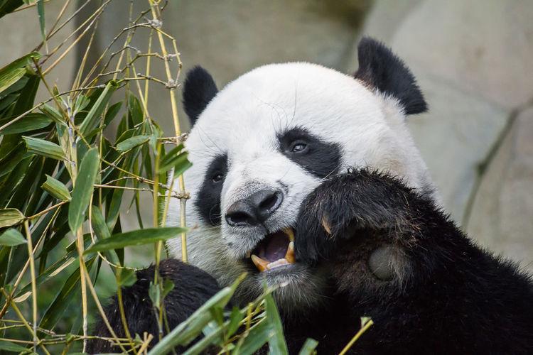Close-up of panda eating
