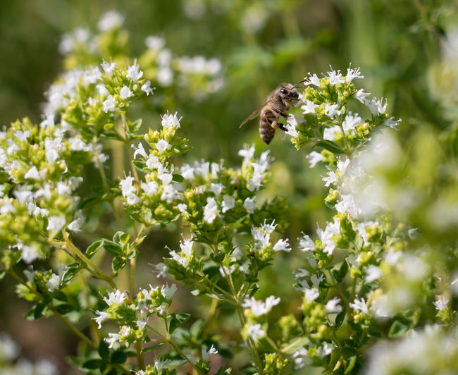 Bee pollinating on white flowers at park