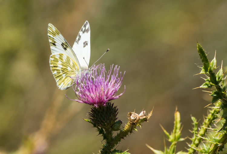 Butterfly No People Perching Flower Spread Wings Butterfly - Insect Flower Head Insect Thistle Close-up Animal Themes Plant Flowering Plant Purple Plant Life Botany In Bloom Blossom