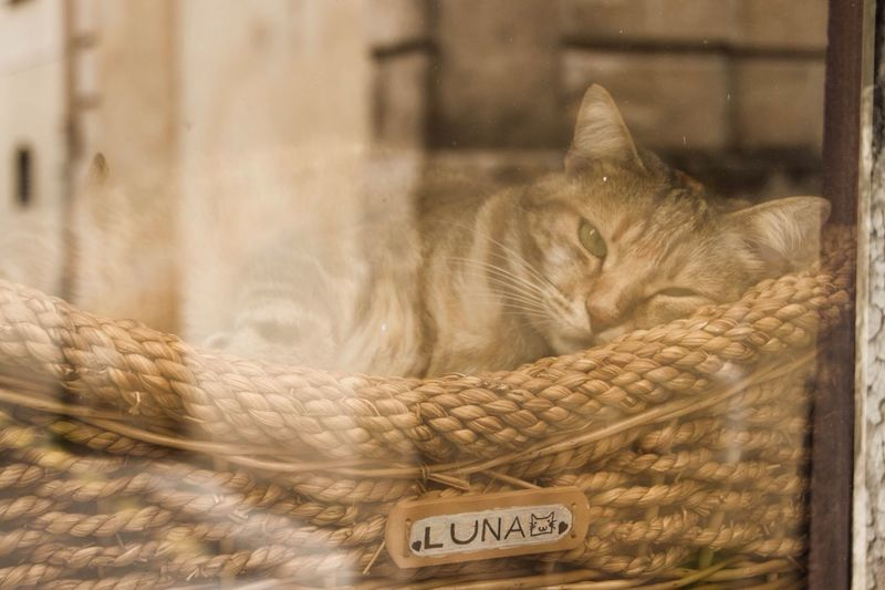 Cat Animal Domestic Cat Chilling Cat In The Window Cat Through The Window Cat In A Basket  TabbyCat Tabby