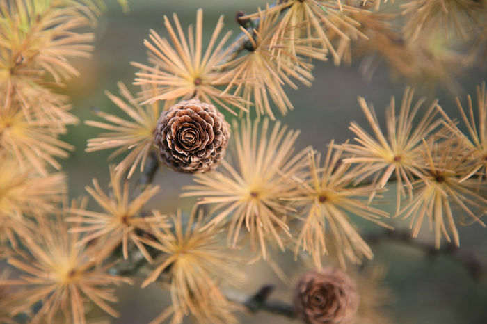 Cones and needles of a larch tree Autumn Nature Tree Beauty In Nature Branch Close-up Cone Coniferous Tree Day Fir Forest Fragility Freshness Larch Tree Larix Nature Needle - Plant Part Needles No People Outdoor Outdoors Pattern Plant Season