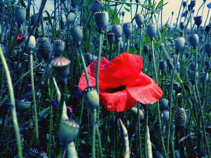 Growth Freshness Fieldscape Grassy Nature Poppy Flower Head Flowers EyeEm Nature Lover Colorful Power In Nature Exceptional Photographs Nature_collection Awesome_nature_shots Nature_perfection For The Love Of Photography EyeEm Masterclass Growth Tranquility Nature Red Fragility Fantasy Amazing EyeEm Flowers Collection EyeEm Selects EyeEmNewHere