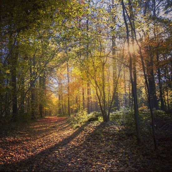 Tree Forest Autumn Change Season  Tranquility Scenics WoodLand Tree Trunk Growth Tranquil Scene Beauty In Nature Non-urban Scene Nature Branch Day Outdoors Footpath The Way Forward Bright