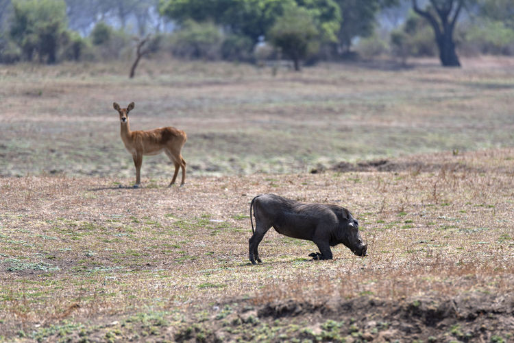 Side view of  a warthog  and  an impala on field