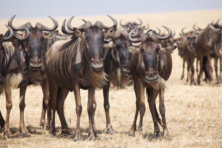 Group of wildebeest standing on field