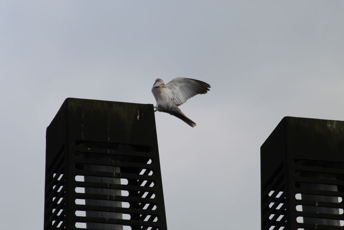 Canon EOS 1300D City Dove Duif Jumping Bird Jumping Pigion Nature Outdoors Pigion Sky Springende Duif Spread Wings Bird Wings