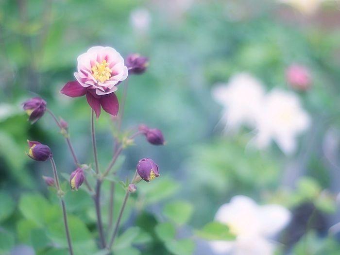 Showcase March Spring Time 春 EyeEm Nature Lover Bokeh Flowers Fleshyplants Takumar EyeEm Flower Hazy Days Spring Hazy  Airy オダマキ