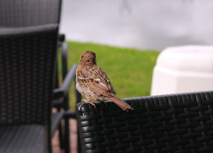 Close-up of sparrow perching outdoors