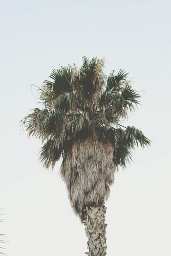 An old photo with new emotions 🌴🌴🌴 Palm Tree Tree Low Angle View Clear Sky Nature Growth Outdoors No People Treetop Beauty In Nature Minimalism Minimalobsession Minimalist Photography  Minimalmood Hello World Nature EyeEm Nature Lover Beautifully Organized EyeEm Gallery OpenEdit Open Edit Photojournalism Memories Of Summer Memory Of Travel 2014 Traveling
