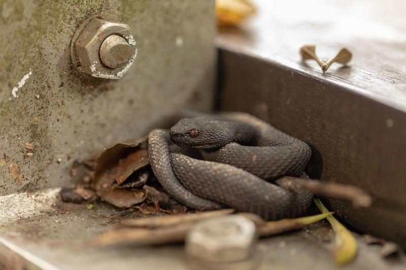 Snake Viper
