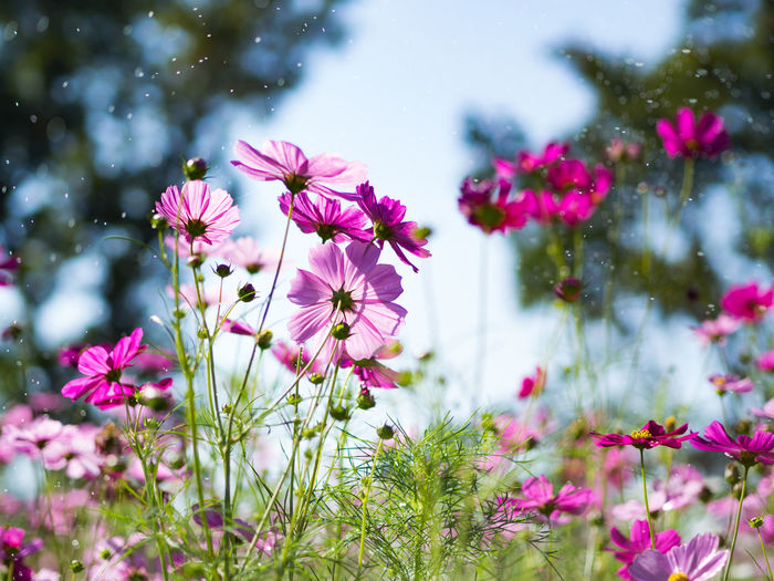 Beautiful cosmos flowers in garden for background. Selective and soft focus. Background Beauty In Nature Blurred Bright Close-up Colorful Cosmos Day Flower Flowers Multi Color Nature Outdoors Pink Plant Summer Water