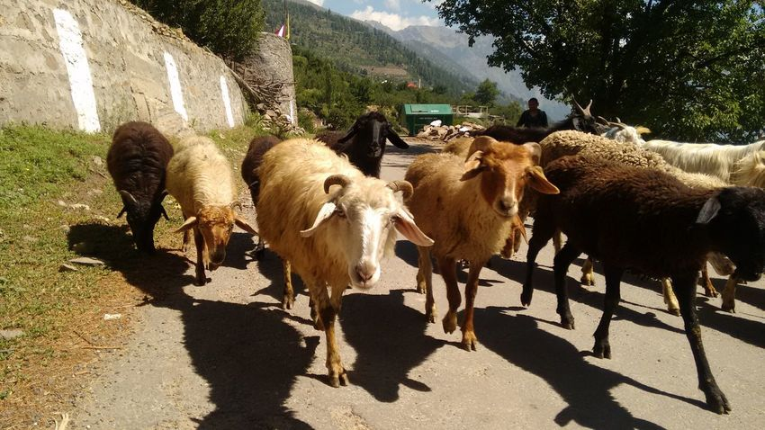 Babablacksheep Blacksheep Herd Himachalpradesh Racism Sheep What Do You See? Why So Serious?