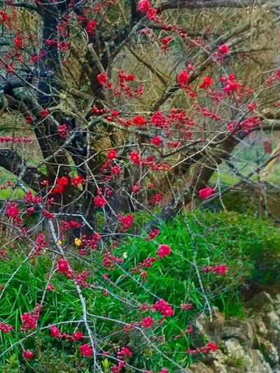 Roadsidephotography Spring Flowers Power In Nature Mother Nature Red Growth Tree Close-up Fruit Plant Nature Branch Day No People Outdoors Freshness Rowanberry Beauty In Nature EyeEm Japan EyeEm Best Shots Japan 🇯🇵 Japan