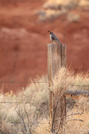 Gambel's quail on a fencepost Animal Wildlife One Animal Animals In The Wild Animal Themes Perching Animal Bird Nature No People Outdoors Quail Gambel's Quail Fencepost Southwest  Arizona Arizona Desert Desert Desert Life Wildlife