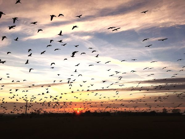 Flying Bird Large Group Of Animals Flock Of Birds Animal Themes Sky Silhouette Animal Wildlife Sunset Animals In The Wild Nature Beauty In Nature Northsea Frisia Birds Wildlife