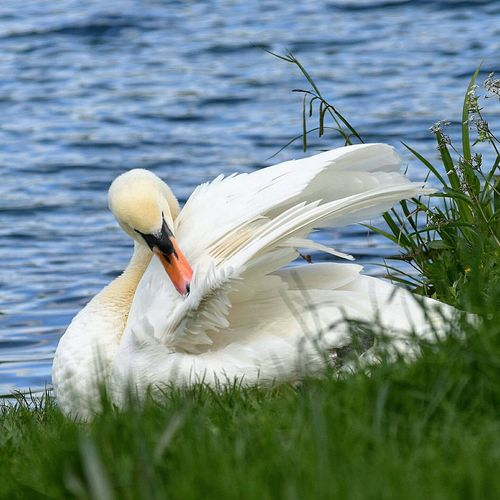 Side view of swan in water