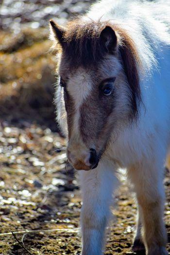 Horse Pony Pets