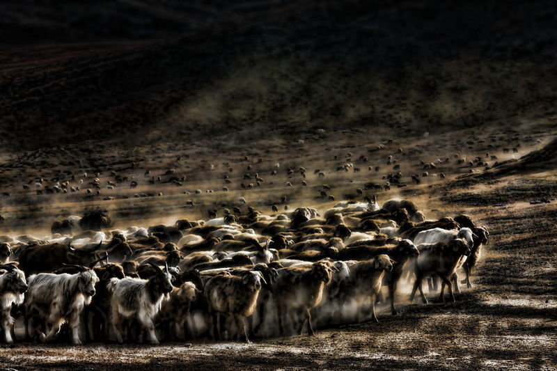 Following Grazing Safari Animals Flock Of Sheep Group Of Animals Desert Herd Wildebeest Dust Animal Themes