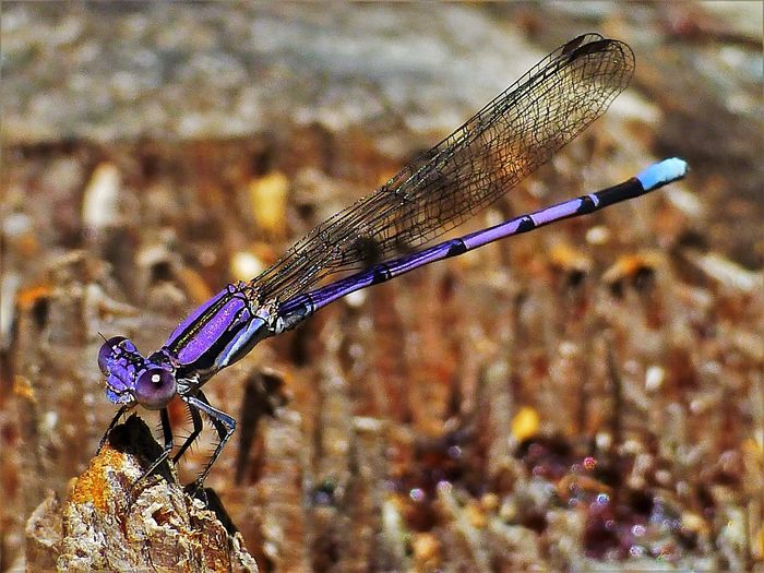 Animal Themes Animal Wildlife One Animal Insect Animals In The Wild Animal Invertebrate Focus On Foreground Damselfly Close-up Dragonfly Nature Outdoors
