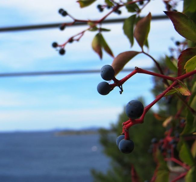 Berries Branches Closeup In Nature Nature Nature_collection Plant Life Seaside Summer First Eyeem Photo