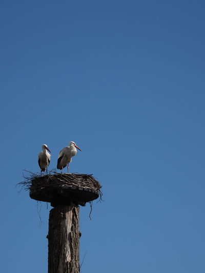 Bird Animals In The Wild Animal Wildlife Animal Animal Themes Vertebrate Copy Space Sky Clear Sky Perching Two Animals Blue Group Of Animals No People Low Angle View Nature Tree Animal Nest Day Wood - Material Outdoors Stork Wooden Post Animal Family
