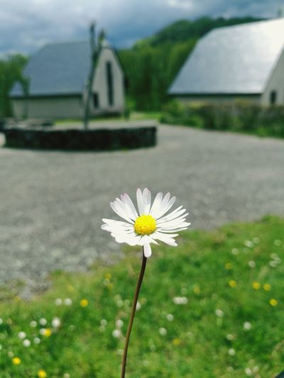 Flower Flower Head Nature Outdoors White Color Freshness Fragility Day Beauty In Nature Focus On Foreground Petal No People Plant Close-up Springtime Beauty Cantal Pays Gentiane Auvergne Stage Photo