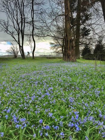 Countryside Blue Flowers Trees Carpet Of Flowers Beatiful Nature Eye4photography  Spring Flowers Springtime Spring IPhoneography Iphone6