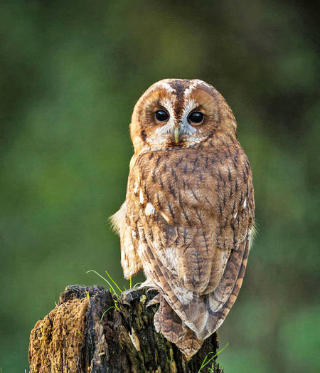 Close-up portrait of owl perching on tree stump