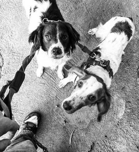 Hard not not adore these two, as mischievous as they are.... Brittanyspaniel Brittanyspaniels Brittanyspanielsofinsta Rescuedogsofig Rescuedog Dogsofinsta Dogsofinstagram Blackandwhite Blackandwhitephotography Monochrome Mono Bnw Bnw_maniac