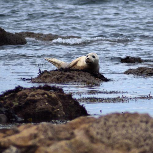 Gray seal on rocks at shore