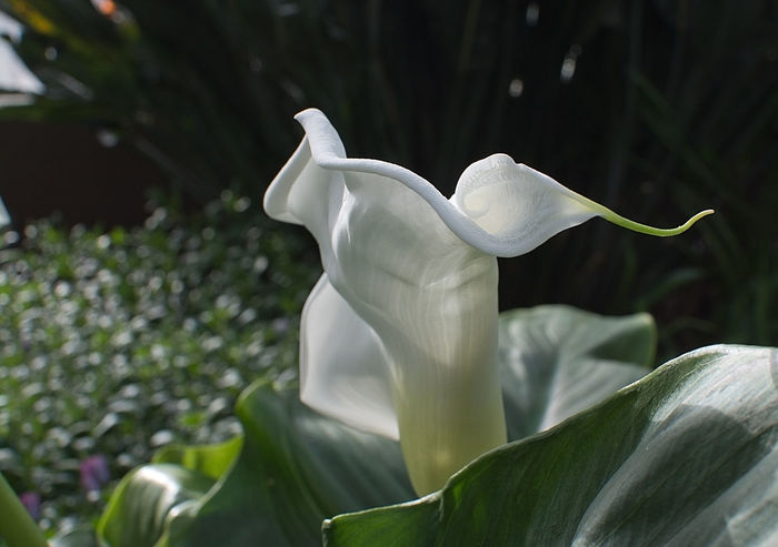 White calla lily with spiral shape closeup. Beauty In Nature Calla Close-up Day Flower Flower Head Fragility Freshness Growth Nature No People Outdoors Petal Plant White White Color