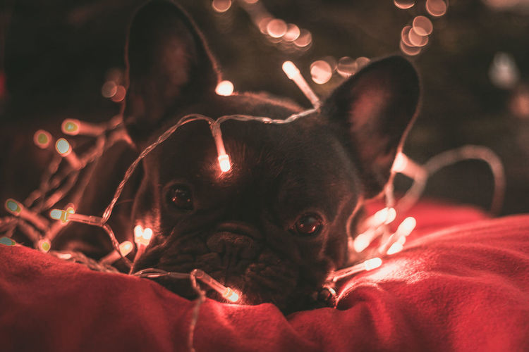 Lichter Weihnachten Animal Themes Close-up Dog Domestic Animals Indoors  Lichterkette Looking At Camera My Dogs Are Cooler Than Your Kids No People One Animal Pets Portrait
