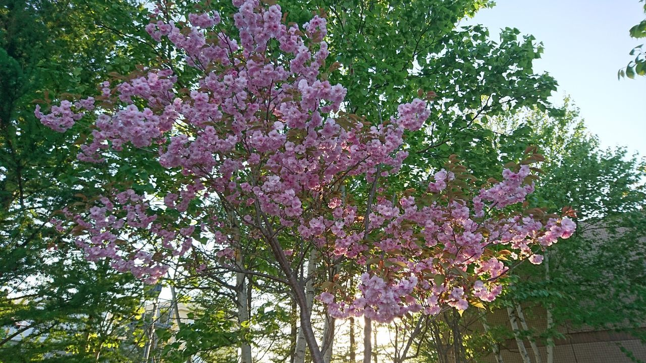 flowering plant, flower, plant, growth, tree, beauty in nature, pink color, freshness, fragility, nature, vulnerability, blossom, day, low angle view, springtime, no people, outdoors, lilac, close-up, branch, purple, spring, bunch of flowers, cherry blossom