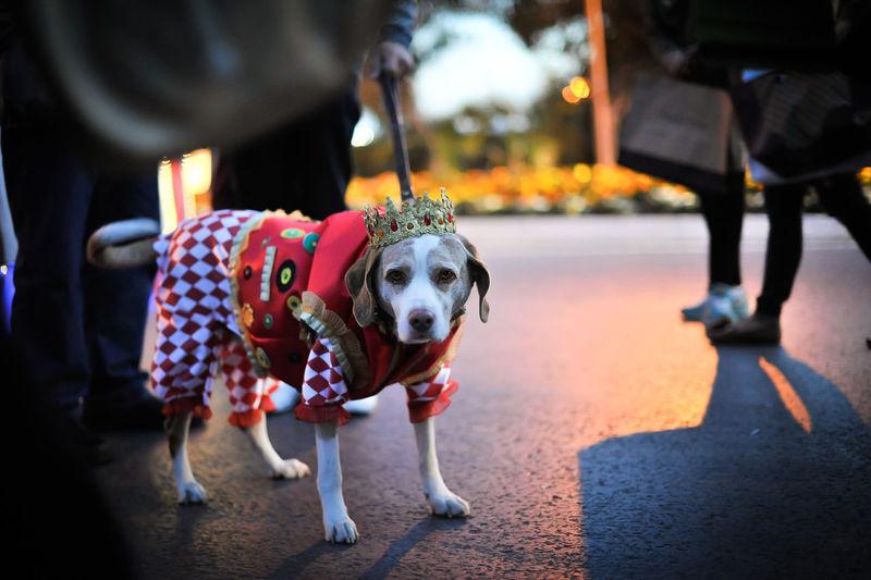 Full length of dog wearing costume on road