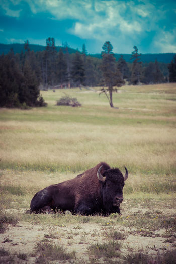Yellowstone National Park Wyoming Wyoming Landscape Yellowstone Yellowstone National Park Yellowstone Wildlife American Bison American West Animal Themes Animal Wildlife Animals In The Wild Day Field Grass Landscape Mammal Nature No People One Animal Outdoors Sky Tree West Yellowstonenationalpark