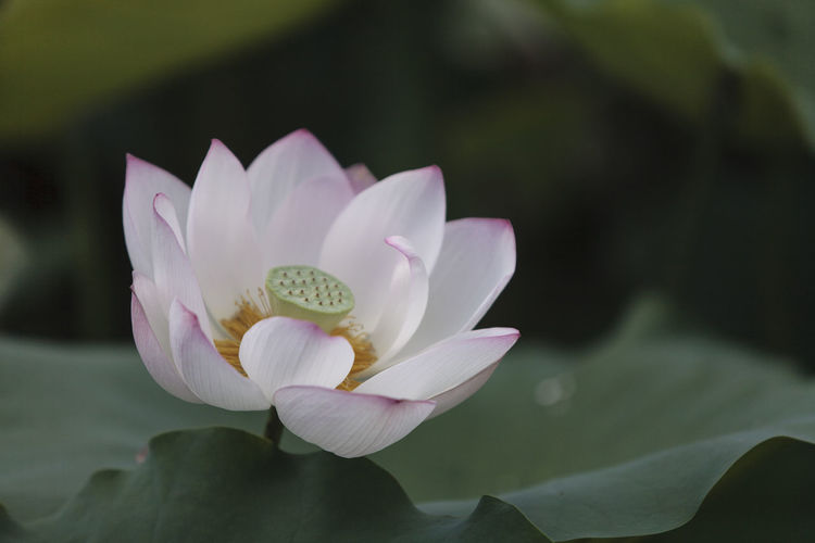 Flower Head Flower Lotus Water Lily Orchid Pink Color Petal Water Lily Leaf Close-up Plant Lotus Pale Pink In Bloom