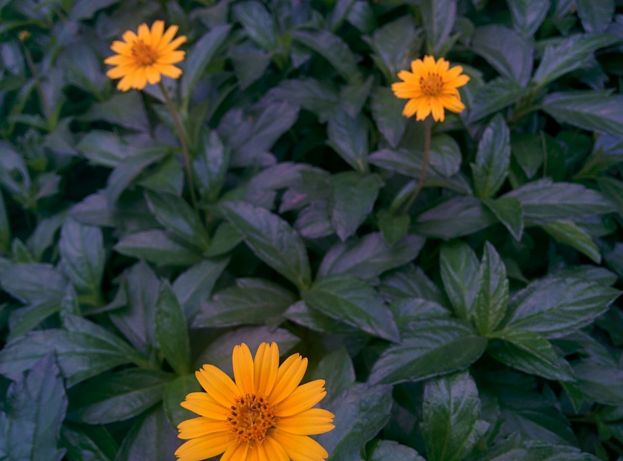 flower, petal, fragility, growth, flower head, freshness, beauty in nature, leaf, plant, nature, blooming, pollen, no people, outdoors, high angle view, yellow, gazania, day, close-up, black-eyed susan, zinnia