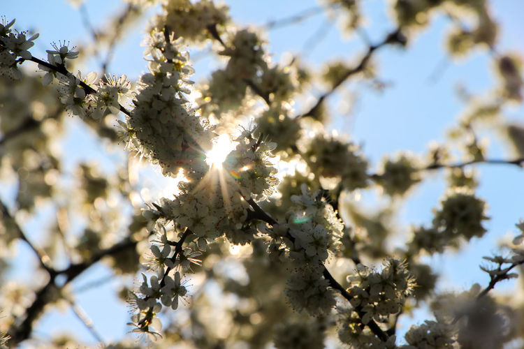 Beauty In Nature Blossom Branch Close-up Day Flower Fragility Freshness Growth Low Angle View Nature No People Outdoors Selective Focus Sky Springtime Sunlight Tree Twig Sommergefühle