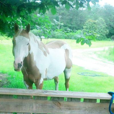 Country Life Gelding Palomino Paint Horses
