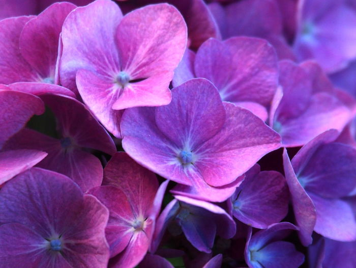 Bright Colors Garden Flowers Hydrangea Flowers Backgrounds Beauty In Nature Close-up Day Flower Flower Head Flowering Plant Full Frame Garden Garden Photography Growth Hydrangea Inflorescence Nature No People Outdoors Petal Pink Color Plant Purple