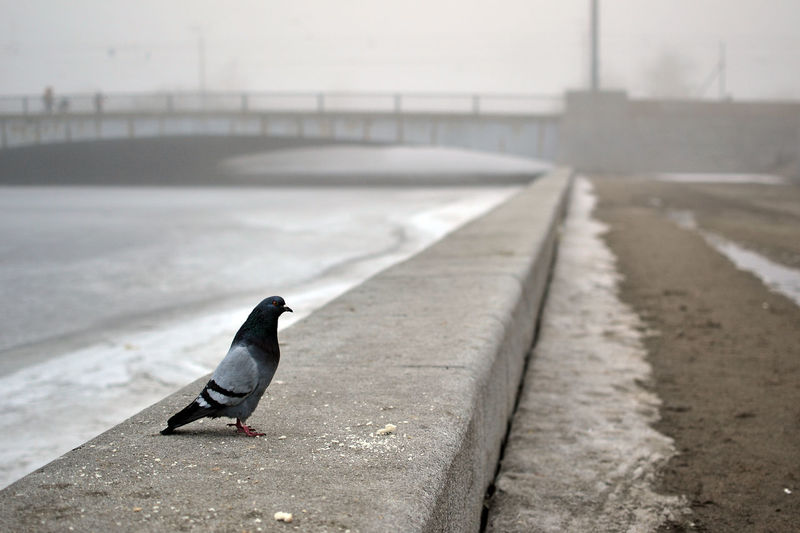 Pigeon On Retaining Wall