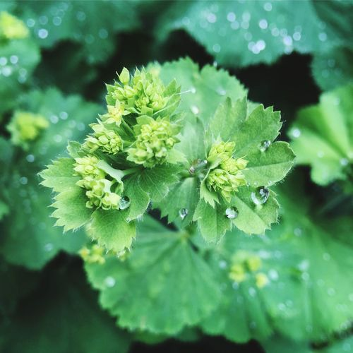 Last night's rain on this morning's Lady's Mantle Droplets Raindrops Ladys Mantle Leaf Plant Part Drop Nature Water Wet Freshness RainDrop Leaves Outdoors Focus On Foreground Day