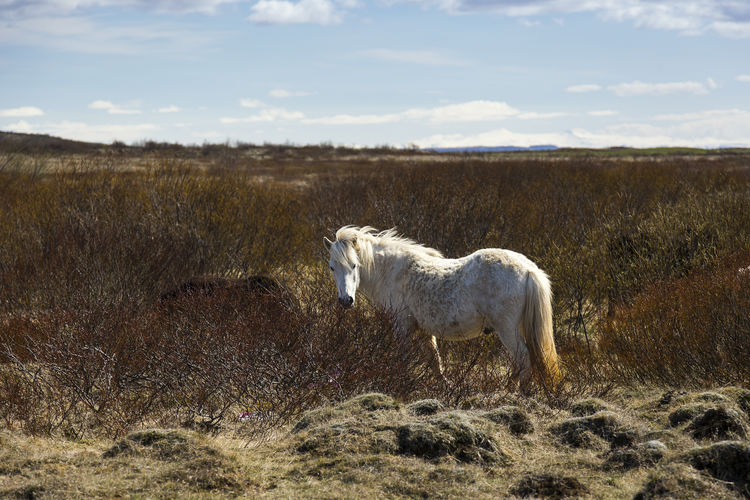 Beautiful dapple white Icelandic stallion standing in field staring peacefully Domestic Animal Themes Land Field Outdoors Day No People Herbivorous One Animal Dapple White Icelandic Stallion Horse Standing Staring Peacefully Windswept Mane Horizon Brambles Lava Landscape Tranquil Scene Backlit Profile View